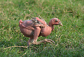 Featherless chicks appear in India