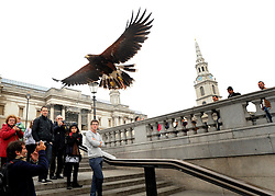 © Licensed to London News Pictures. 13/03/2012. London, UK. Lizzie flies above tourists heads. Wayne Parsons flies Lizzie, aged 3, the American Harris Hawk in London's Trafalgar Square today. Wayne and Lizzie are employed by the Greater London Authority to control the pigeon population in the famous square. Lizzie was reared from birth by Wayne but not 'imprinted', meaning she retains her natural ability to hunt. Lizzie only catches 5 or 6 pigeons a year as the very site of her scares them away.  Photo credit : Stephen SImpson/LNP
