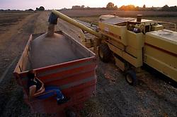 Wheat harvest at sunset.