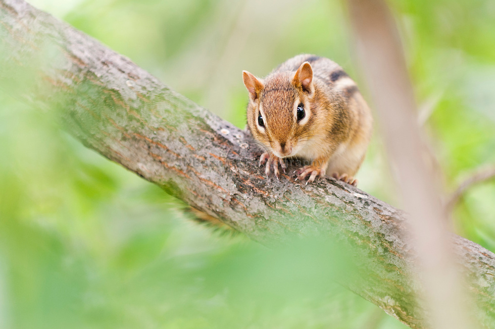 Intensely alert Chipmunk in a tree