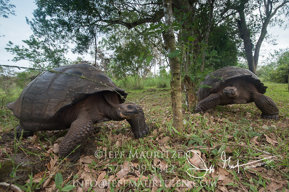 Two Galapagos Giant Tortoises near a fence in the highlands of Santa Cruz island.