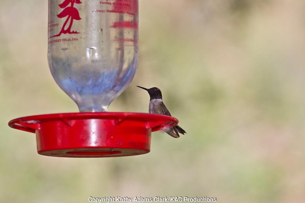 Black-chinned hummingbird, male, Archilochus alexandri, at feeder, Marathon, Texas, west Texas,