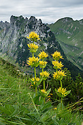 Yellow alpine wildflowers bloom in the Alpstein limestone range, Appenzell Alps, Switzerland, Europe. Appenzell Innerrhoden is Switzerland's most traditional and smallest-population canton (second smallest by area).