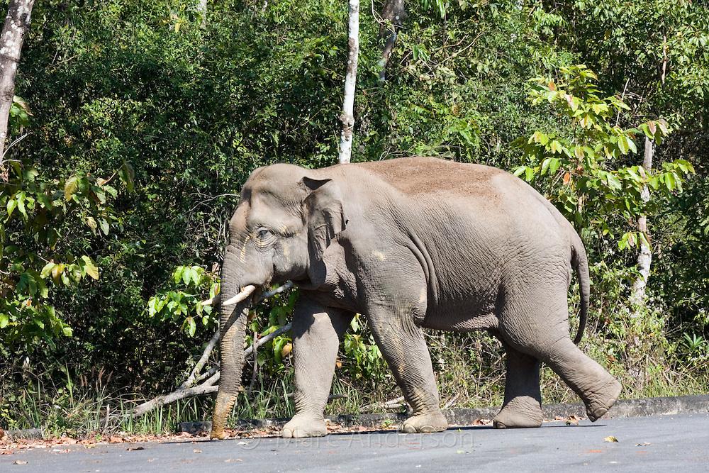 Wild bull elephant, Elephas maximus, crossing a road, Khao Yai National Park, Thailand