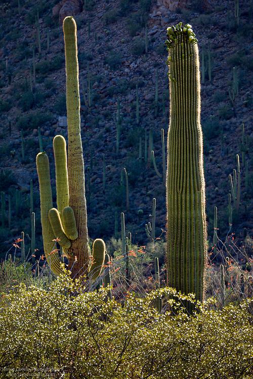 Saguaro cactus in Saguaro National Park, Arizona