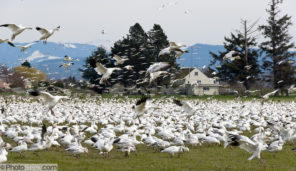 Snow Geese are typically seen in large flocks up to 55,000 in winter in western Washington, USA. Most gather in the Skagit River Delta (Skagit County) between the towns of Mount Vernon and La Conner (near Fir Island Road and Best Road) from mid-October to early May.