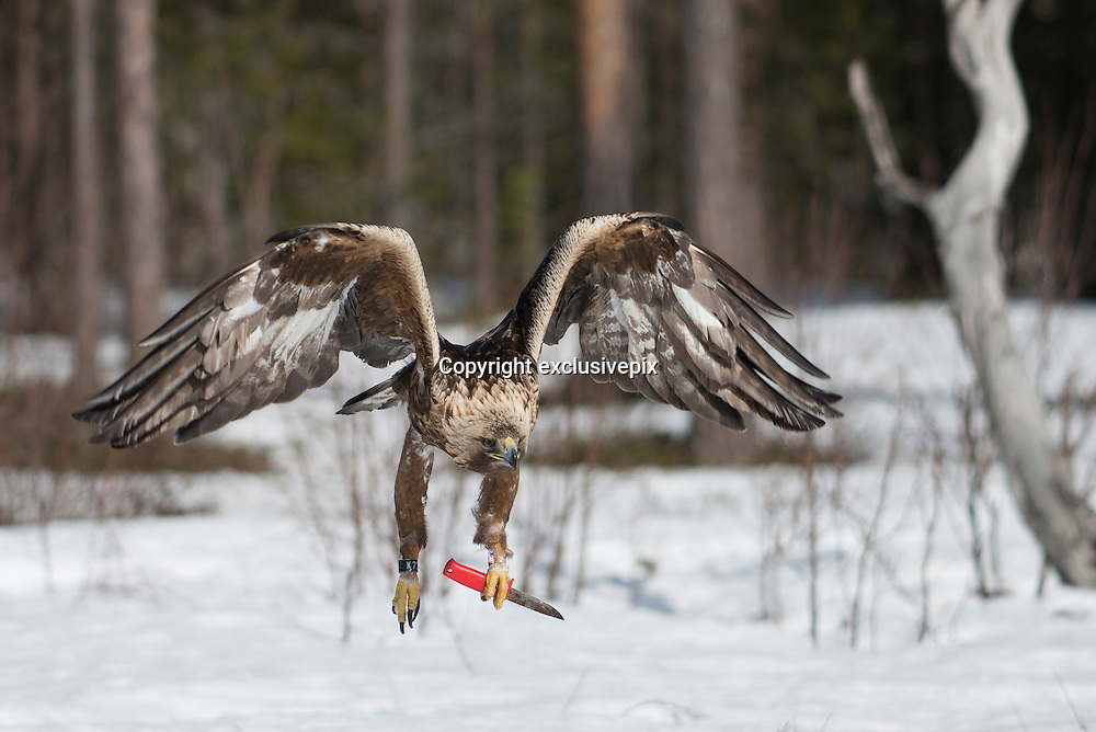 That's what you call one tough old bird: The golden eagle who carries a KNIFE<br />
