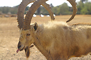 Male Ibex with long horns