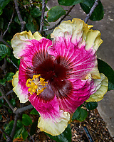 Hibiscus Flowers at Selby Gardens in Sarasota, Florida. Image taken with a Nikon D300 camera and 14-24 mm f/2.8 lens.