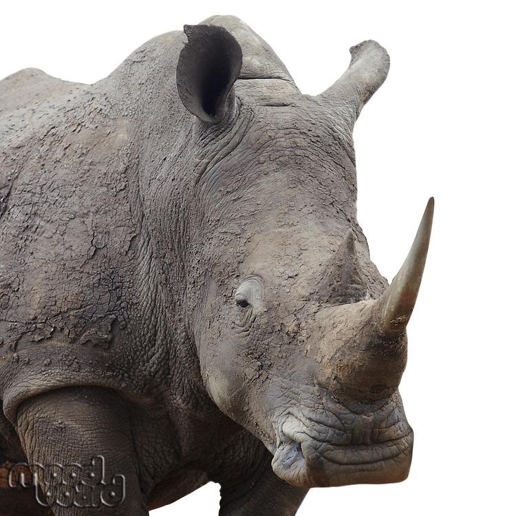 Rhinoceros standing over white background