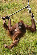 Female Sumatran Orangutan, Pongo abelii, at Jersey Zoo - Durrell Wildlife Conservation Trust, Channel Isles