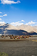 Double-humped camels, Nubra valley.