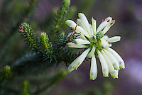 Erica sessiliflora flowers, Fernkloof Nature Reserve, Hermanus, Western Cape, South Africa