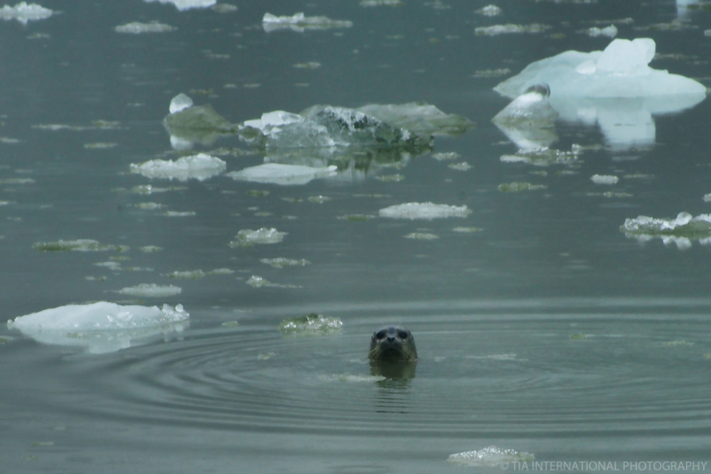 Curious Seal, Tracy Arm Fjord
