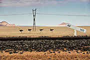 Four male ostriches walk alongside the train tracks in Namibia.