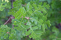 Garry oak leaves in the sagebrush desert just outside of Yakima, Washington. This attractive tree is native to Oregon, Washington and British Columbia and is depended upon by many different species of wildlife for their survival, such as the western gray squirrel, Lewis woodpecker, and slender billed nuthatch.
