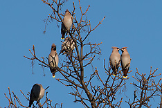 Waxwings, Edinburgh, 3 December 2018