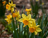Fancy Daffodil flowers.  Image taken with a Leica CL camera and 60 mm f/2.8 lens (ISO 100, 60 mm, f/5, 1/640 sec).