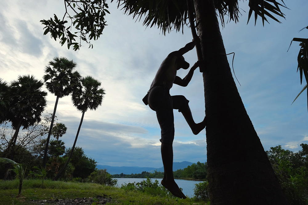 Kampot, Cambodia. Leap Sothea, 45 years old is coming down from a palm tree (Borassus Flabellifer) widely used in the country for the production of sugar. Photo by Lorenz Berna