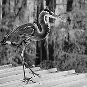 Blue Heron - Caddo Lake, Texas - Infrared Black & White