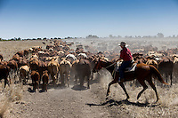 Brunette Downs Cattle Station is situated on the Barkley tablelands in Australia's Northern Territory. One of Australia's largest cattle stations. Mustering cattle to a drafting yard..Helena Grieser from Germany.