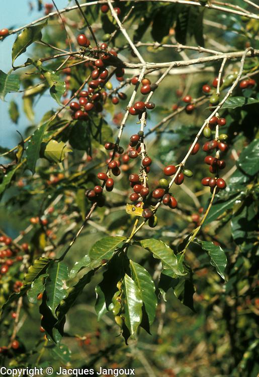 Coffee fruit (drupe) on tree in plantation, Mexico, Puebla State, Sierra de Puebla.