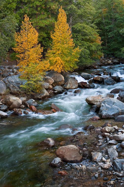 Aspen trees in fall next to creek, near Cedar Grove, Kings Canyon National Park, California