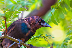 An Evil Grackle Eyes a Nearby Feeder waiting for an innocent bird to approach so he can torment them.