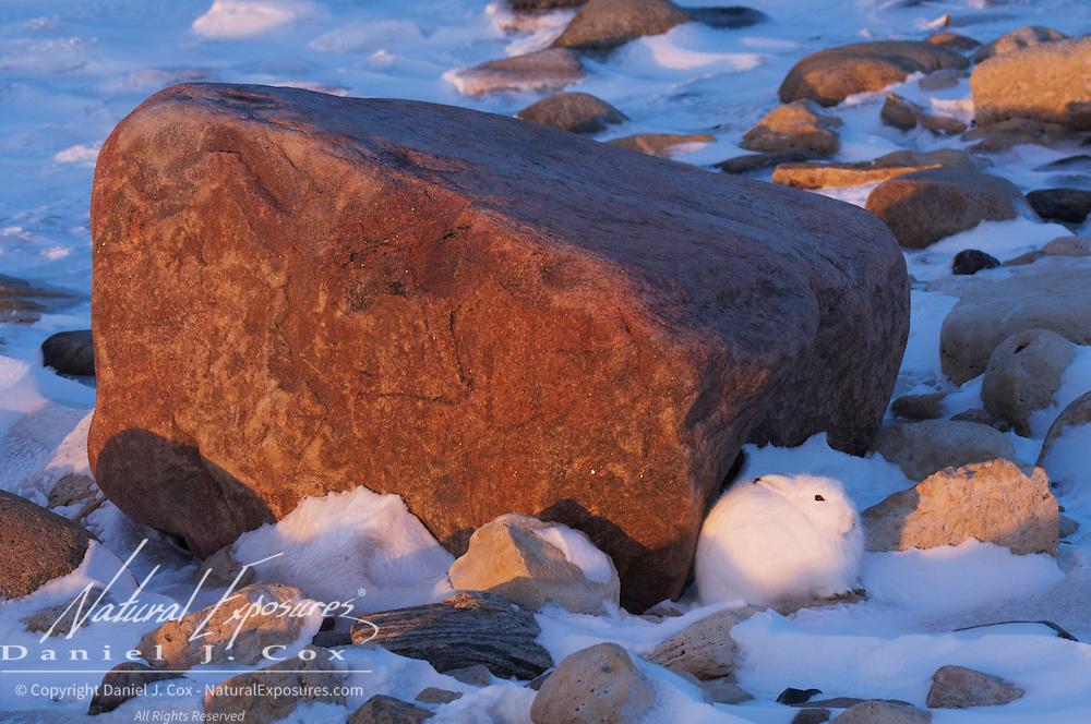 Arctic hare near a rock. Churchill, Mantioba, Canada