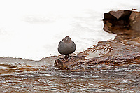 An American Dipper rests on an old log on the side of the river.