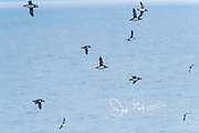 Atlantic puffins in flight along the coast of Staffa Island, Scotland.
