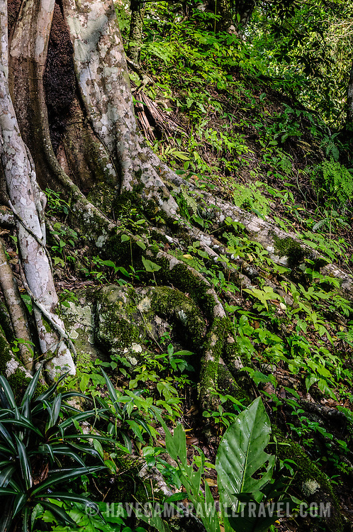 Roots of some of the jungle vegetation in the Tikal Maya ruins in northern Guatemala, now enclosed in the Tikal National Park.