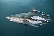 Blacktip shark (Carcharhinus limbatus) - South Africa