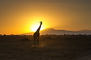 A mature Giraffe walks silhouetted against a brilliant Serengeti sunrise