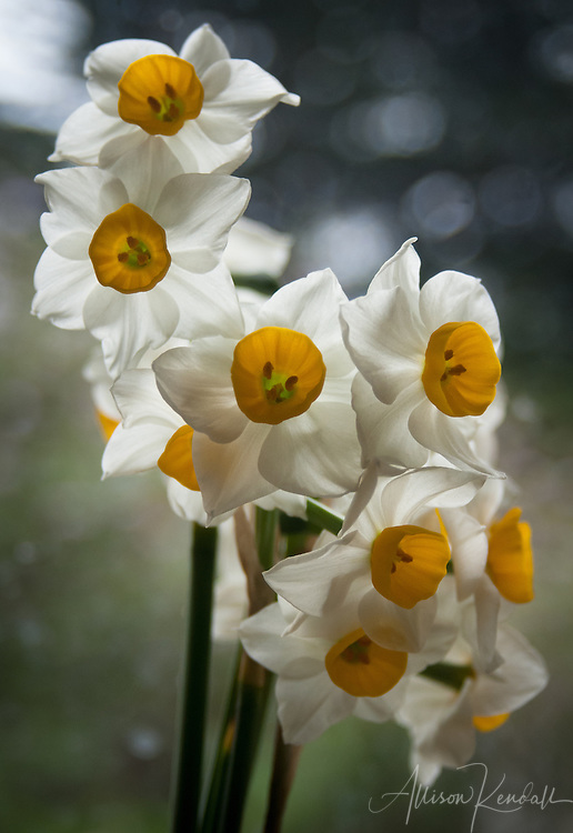 Vertical crop of a bouquet of spring daffodils