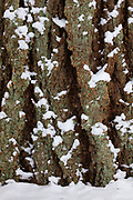 Fresh snow clings to the bark of a large Douglas fir (Pseudotsuga menziesii) tree in Snohomish County, Washington.