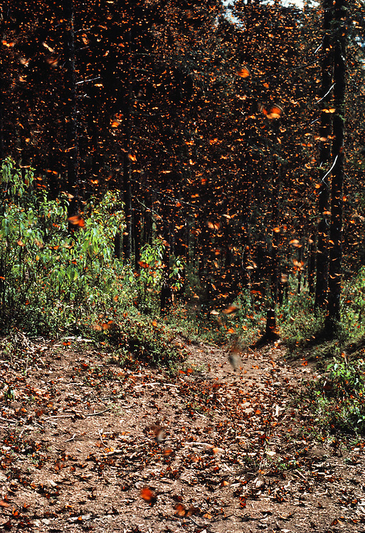 A path through the woods covered with butterflies at the Monarch butterfly reserve. Rosario, Mexico.