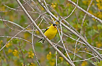 An American Goldfinch studies its surroundings this bird is very tolerant to people and very curious to what they are doing.