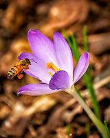 First Hint of Spring -- Early crocus flower with a honey bee across the street. Winter nature in New Jersey. Image taken with a Fuji X-T2 camera and 100-400 mm OIS lens (ISO 200, 400 mm, f/5.6, 1/125 sec)
