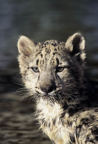 Snow Leopard (Panthera uncia).  A young cub.  Snow Leopards inhabit the Himalayas in Asia.  Captive Animal.