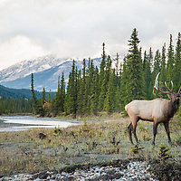bull elk standing along a river with mountain brackground