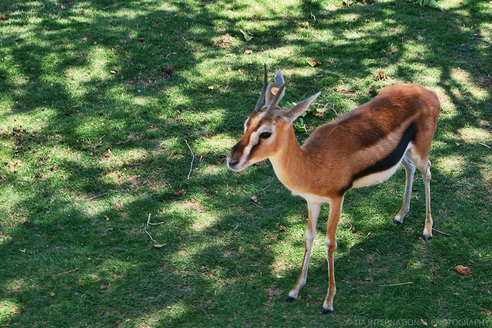 Gazelle, San Diego Wild Animal Park