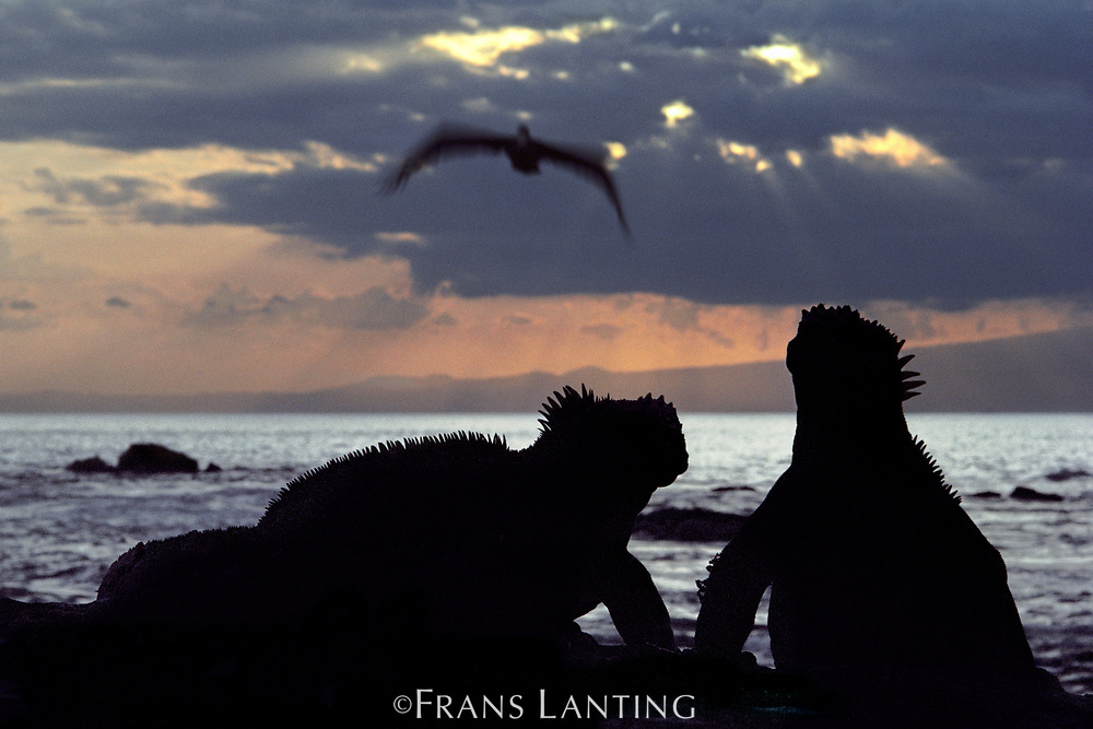 Marine iguanas and Brown pelican, Galapagos Islands, Ecudaor