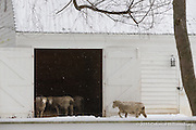 Sheep at the Powell property, Colonial Williamsburg on a very cold snowy morning