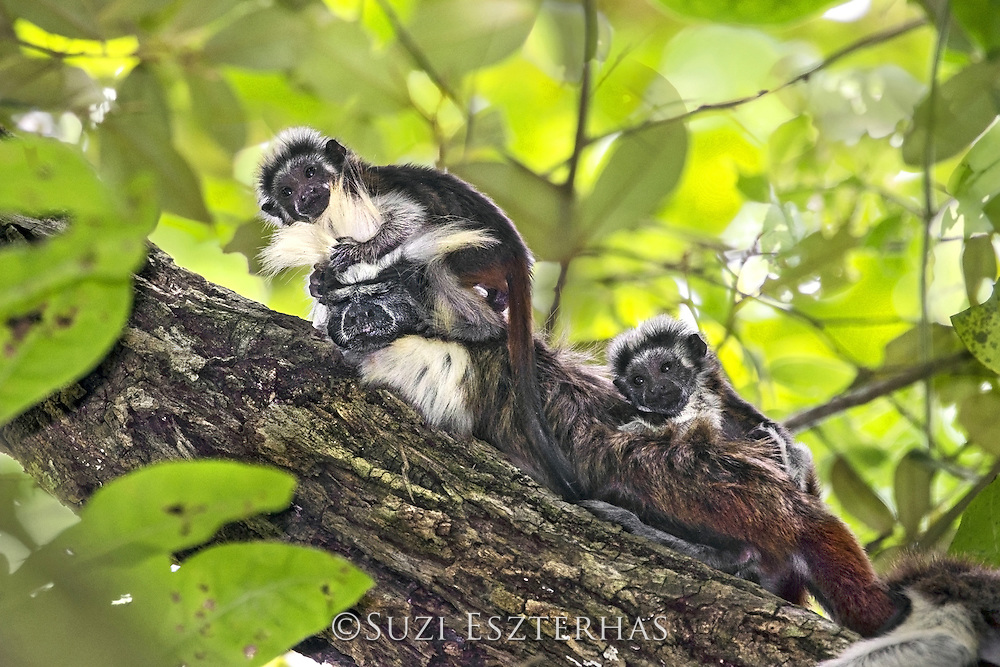 Cotton-topped Tamarin<br /> Saguinus oedipus<br /> One-month-old twin babies climbing on adult male<br /> Northern Colombia, South America