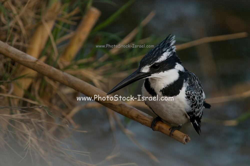 Israel, Maagan Michael Fish ponds, Pied Kingfisher (Ceryle rudis) Perched on a branch