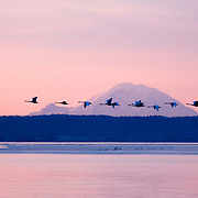Migrating trumpeter swans at dawn, Skagit Bay Estuary with Mount Rainier in background.