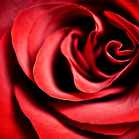 Close-up macro image of the centre of a red rose.