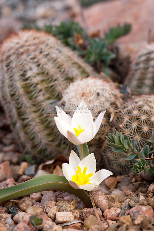 Echinocereus reichenbachii Lace Cactus