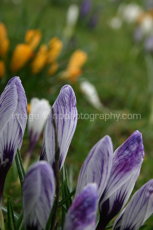 Purple and orange crocus flowers